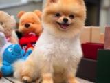 FCI secere teddybear Pomeranian