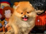 Gülen surat yapısına sahip Pomeranian boo yavrularımız