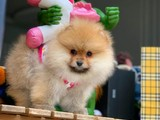 Gülen yüz muhteşem tüy ve fiziki yapısı Pomeranian