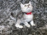 Silver Tabby Dragon British Shorthair Yavrumuz