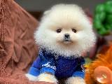 Aa Kalite Safkan Pomeranian Boo