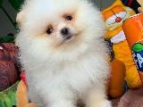 Güzeller güzeli Şirin Yavrumuz Pomeranian Boo