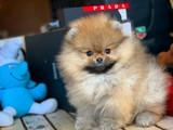 Irk ve sağlık garantili mikro boy Pomeranian