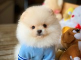 Irk ve sağlık garantili Pomeranian boo