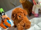 Irkın en güzel rengi red brown toy poodle