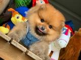 Irkının en iyisi şampiyon Aile Pomeranian