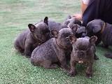 safkan french bulldog yavruları