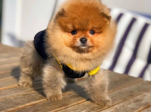 Küt Burun Üst Segment PomeranianBoo Yavrumuz