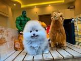 Muhteşem yüz ve fiziki yapısına sahip Pomeranian