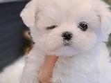 Maltese terrier 2 aylık yavru