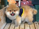 Pasaport milrochip wc eğitimli Pomeranian