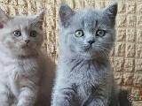 Scottish Fold ve British Shorthair 1 aylık yavrular
