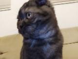3 Aylık kedi (Tek Scottish Fold)