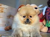 Pomeranian teddybear