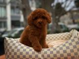 Red Toy Poodle Oğlumuz Carlos