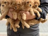 Safkan toy poodle apricot bebeklerimiz