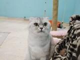 Scotish fold dişi kedim