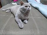 Sevimli brittish shorthayır kedimi ücretli sahiplendiryorum