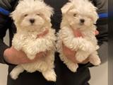 Sevimli mini maltese terrier yavrularımız