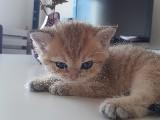 Cana Yakın British Shorthair Golden Cinsi Kedimiz Satılıktır :)