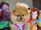 Teddyface en iyi kalite boo Pomeranian