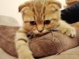 Tiger Tabby Scottish Fold