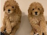 Toy poodle apricot bebekler