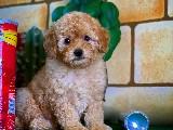 Irk ve saglık garantili veteriner teknikerinden toy poodle