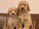 Tüy dökmeyen koku yapmayan apricot poodle yavrular