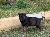 workingline orjinal alman coban köpekleri