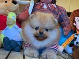 Yeni Gelen Teacup Gülen Surat PomeranianBoo Oğlumuz