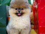 En iyi Pomeranian Boo Yavrularımızdan