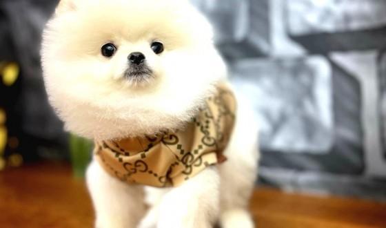 Pomeranian Boo Köpek Özellikleri ve Bakımı