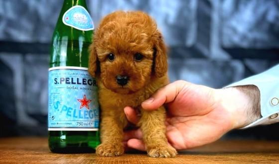 Toy Poodle Köpek Özellikleri ve Bakımı