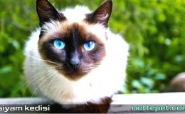 Siyam Kedisi Özellikleri, Bakımı Ve Tarihçesi