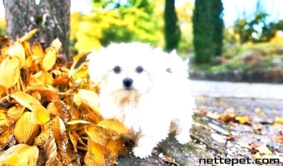 Maltese Terrier Köpek Cinsi