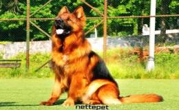 Alman Kurdu (Alman Çoban Köpeği)