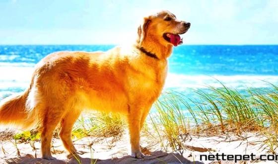 Golden Retriever Köpek Irkı