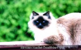 Birman Kedi Cinsi