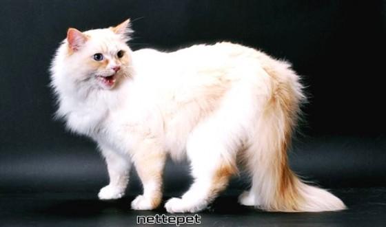 Ragamuffin Kedi Cinsi