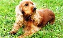 American Cocker Spaniel Köpek Irkının Özellikleri