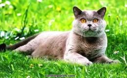 British Shorthair Kedi Irkının Özellikleri