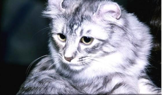 American Curl Kedi Irkı