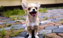 Chihuahua Köpek Irkının Özellikleri, Bakımı ve Tarihçesi