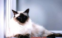 Balinese Kedi Irkının Özellikleri ve Bakımı