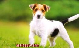 Jack Russel Terrier Köpek Irkı Özellikleri, Bakımı ve Tarihçesi