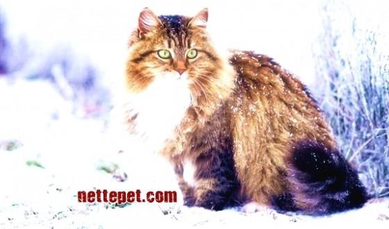 Sibirya Kedisi Özellikleri, Bakımı ve Tarihçesi