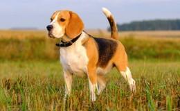 Beagle Köpek Irkının Özellikleri ve Bakımı