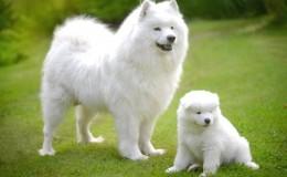 Samoyed Köpek Irkı Özellikleri ve Bakımı