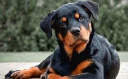 Rottweiler Köpek Irkının Özellikleri ve Bakımı